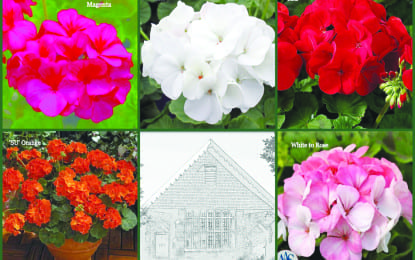Library hosts annual geranium sale