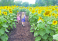 Sunflower maze draws visitors to Camillus