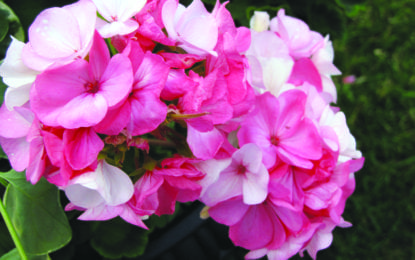 Maxwell Library to host geranium sale