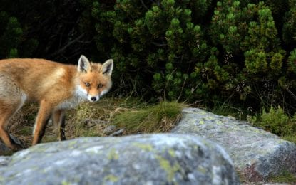 Livin' in Liverpool: Red fox adds color to the village's menagerie